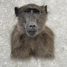 Chacma Baboon Taxidermy Shoulder Mount For Sale