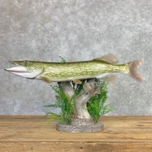Chain Pickerel Fish Taxidermy Mount For Sale #22072 @ The Taxidermy Store