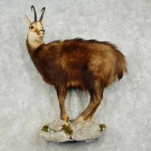 Chamois Life-Size Taxidermy Mount For Sale