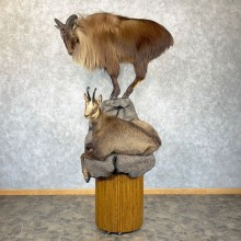 Tahr and Chamois Life-Size Taxidermy Mount For Sale