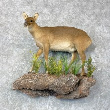 Chinese Water Deer Taxidermy Life-Size Mount For Sale