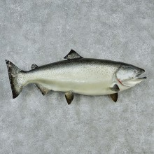 Chinook Taxidermy Fish Mount M1 #12831 For Sale @ The Taxidermy Store