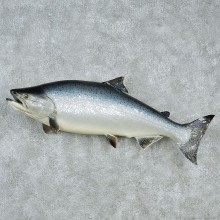 Chinook Taxidermy Fish Mount M1 #12834 For Sale @ The Taxidermy Store