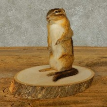 Chipmunk Life-Size Mount For Sale #16330 @ The Taxidermy Store