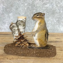 Chipmunk Life-Size Mount For Sale #22446 @ The Taxidermy Store