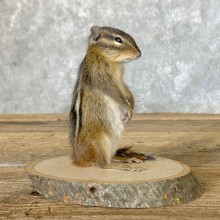 Chipmunk Life-Size Mount For Sale #22637 @ The Taxidermy Store
