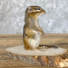 Chipmunk Life-Size Mount For Sale #22638 @ The Taxidermy Store