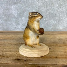 Chipmunk Life-Size Mount For Sale #23231 @ The Taxidermy Store