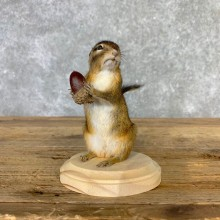 Chipmunk Life-Size Mount For Sale #23232 @ The Taxidermy Store