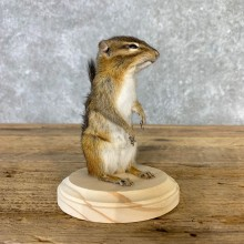 Chipmunk Life-Size Mount For Sale #23233 @ The Taxidermy Store