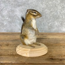 Chipmunk Life-Size Mount For Sale #23234 @ The Taxidermy Store