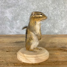 Chipmunk Life-Size Mount For Sale #23235 @ The Taxidermy Store