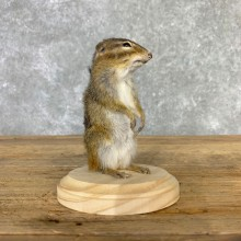 Chipmunk Life-Size Mount For Sale #23236 @ The Taxidermy Store