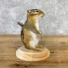Chipmunk Life-Size Mount For Sale #23237 @ The Taxidermy Store