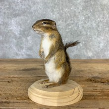 Chipmunk Life-Size Mount For Sale #23256 @ The Taxidermy Store