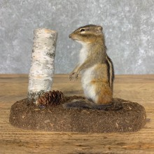 Chipmunk Life-Size Mount For Sale #23473 @ The Taxidermy Store