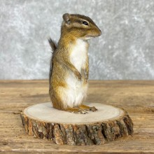 Chipmunk Life-Size Taxidermy Mount For Sale