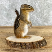 Chipmunk Life-Size Mount For Sale #24075 @ The Taxidermy Store