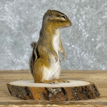 Chipmunk Life-Size Mount For Sale #24076 @ The Taxidermy Store