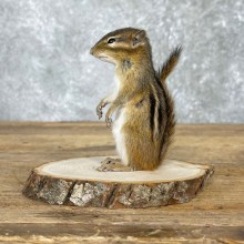 Chipmunk Life-Size Mount For Sale #24077 @ The Taxidermy Store