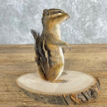 Chipmunk Life-Size Mount For Sale #24078 @ The Taxidermy Store