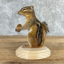 Chipmunk Life-Size Mount For Sale #24079 @ The Taxidermy Store