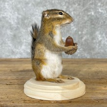 Chipmunk Life-Size Mount For Sale #24080 @ The Taxidermy Store