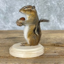 Chipmunk Life-Size Mount For Sale #24081 @ The Taxidermy Store