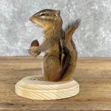 Chipmunk Life-Size Mount For Sale #24082 @ The Taxidermy Store