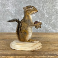 Chipmunk Life-Size Mount For Sale #24083 @ The Taxidermy Store