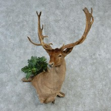 Chocolate Fallow Deer Wall Pedestal Taxidermy Mount M1 #12822 For Sale @ The Taxidermy Store