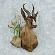Chocolate African Springbok Shoulder Mount #13476 For Sale @ The Taxidermy Store