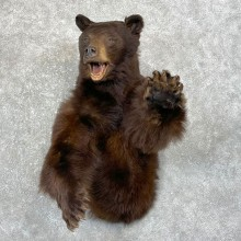 Chocolate Black Bear 1/2-Life-Size Taxidermy Mount For Sale