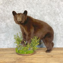 Chocolate Black Bear Cub Mount For Sale #22364 @ The Taxidermy Store