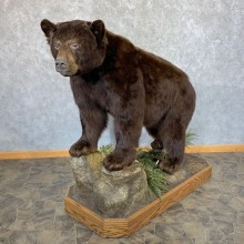 Chocolate Black Bear Life-Size Mount For Sale #23873 @ The Taxidermy Store