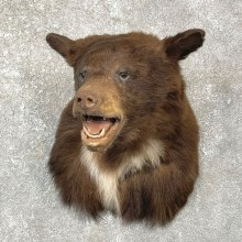 Chocolate Black Bear Shoulder Mount For Sale #24764 @ The Taxidermy Store