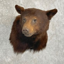 Chocolate Black Bear Shoulder Mount For Sale #24765 @ The Taxidermy Store