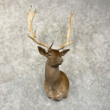 Chocolate Fallow Deer Shoulder Mount For Sale #24992 @ The Taxidermy Store