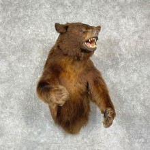Chocolate Phase Black Bear Half-Life-Size Mount For Sale #25409 @ The Taxidermy Store