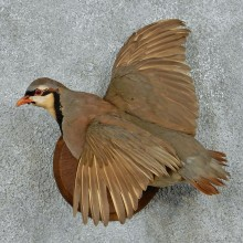 Chukar Partridge Life Size Taxidermy Mount #13101 For Sale @ The Taxidermy Store