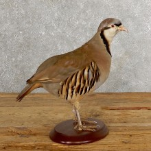 Chukar Taxidermy Mount For Sale #19765 @ The Taxidermy Store