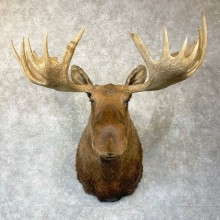Chukotka Moose Shoulder Mount For Sale #24748 @ The Taxidermy Store