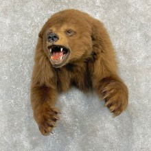 Cinnamon Black Bear 1/2-Life-Size Mount For Sale #24153 @ The Taxidermy Store