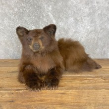 Cinnamon Black Bear Cub Life-Size Mount For Sale #24132 @ The Taxidermy Store