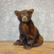 Cinnamon Black Bear Cub Mount For Sale #21636 @ The Taxidermy Store