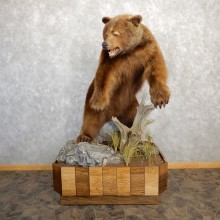 Cinnamon Black Bear Life-Size Mount For Sale #19780 @ The Taxidermy Store