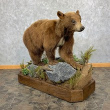 Cinnamon Phase Black Bear Life-Size Mount For Sale #23225 @ The Taxidermy Store
