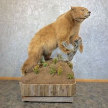 Cinnamon Phase Black Bear Life-Size Mount For Sale #23941 @ The Taxidermy Store