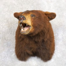 Cinnamon Phase Black Bear Shoulder Mount For Sale #22231 @ The Taxidermy Store
