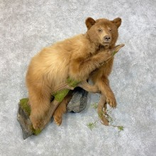 Cinnamon Phase Juvenile Black Bear Mount For Sale #23989 @ The Taxidermy Store